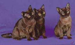Bombay and Burmese kittens