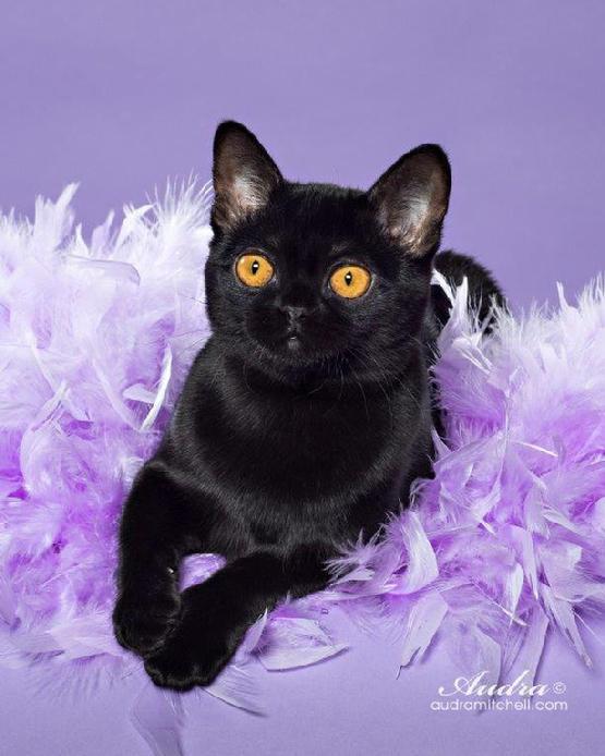 Burmese cat nyc